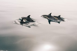 dolphins-945410_640